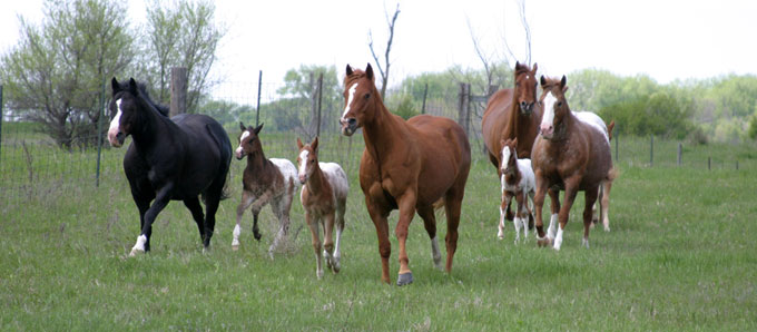 Sheldak Ranch appaloosa mares