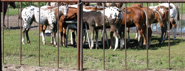 Sheldak Ranch foals in creep feeder