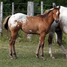 Sheldak Ranch - 2019 Awestruck Foals for sale