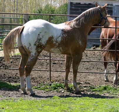 Sheldak Ranch - Appaloosa Stallions