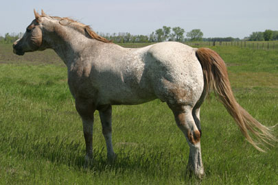 Sheldak Ranch - Appaloosa Stallions