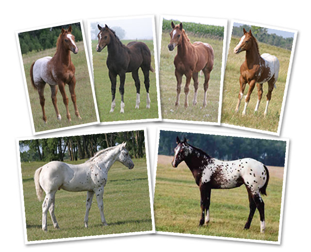 Sheldak Ranch – World Class Appaloosa Horses for Sale