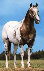 Sheldak Ranch - Foundation Appaloosa Stallions